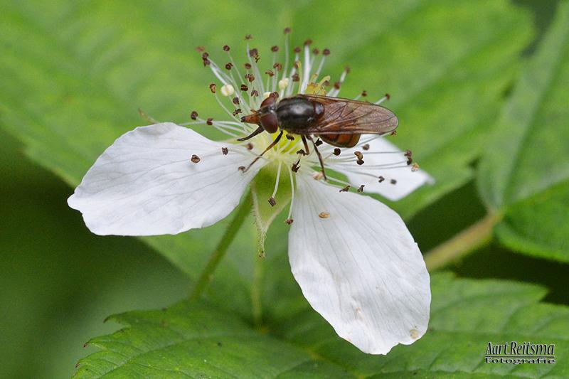 Insekt op bloem bramenstruik