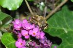 Bij op vlinderstruik