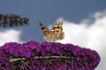 Distelvlinder op vlinderstruik