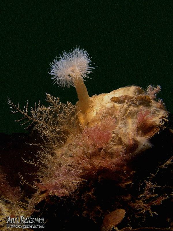 Weduweroosje op oester