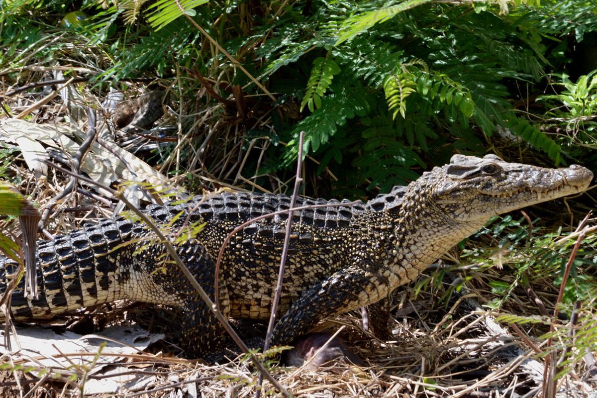 De Cubaanse krokodil