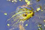 Groene kikker Scheendijk