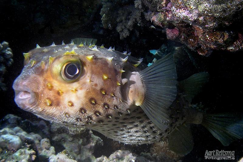 Geelgevlekte egelvis, Marsa Shagra 2019