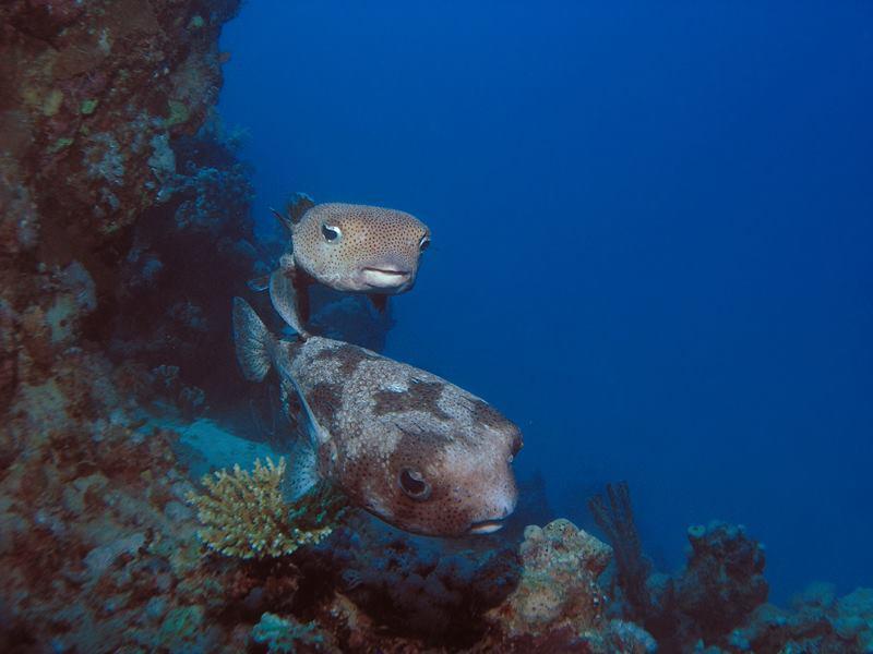 Twee gestippelde egelvissen