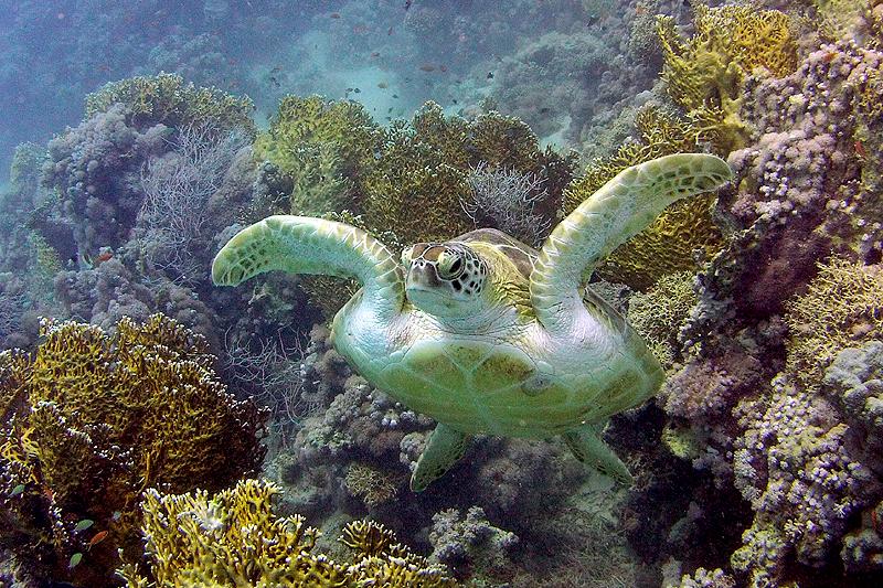 Karet schildpad