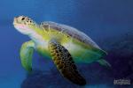 Schildpad in het blauw, Marsa Shagra 2019