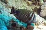Indische zeilvindoktervis