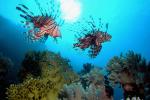 Indische koraalduivels in het zonnetje
