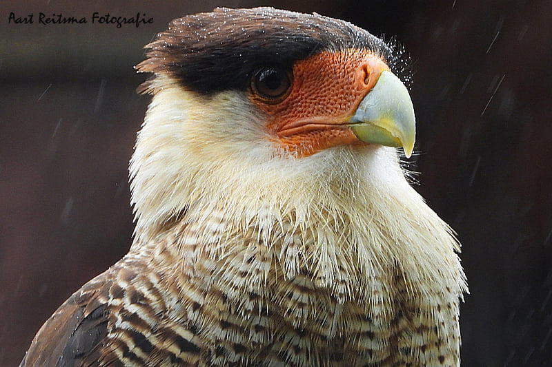 Noordelijke-Kuifcaracara-close-up
