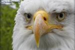 Amerikaanse-zeearend-close-up
