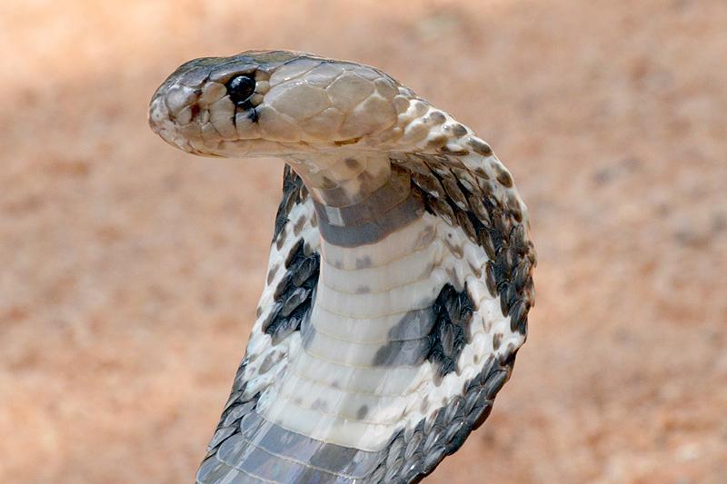 Close up Cobra