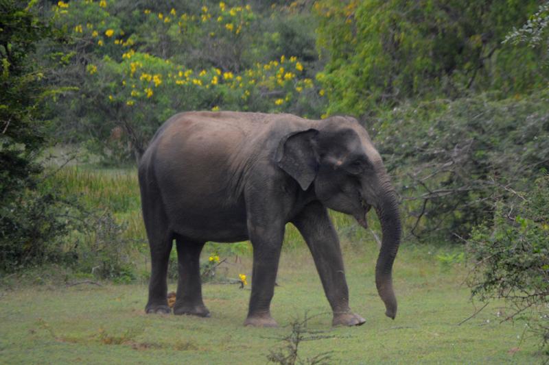 Yala National Park-Indische olifant