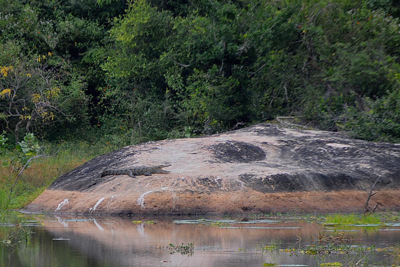 Yala National Park-Krokodil