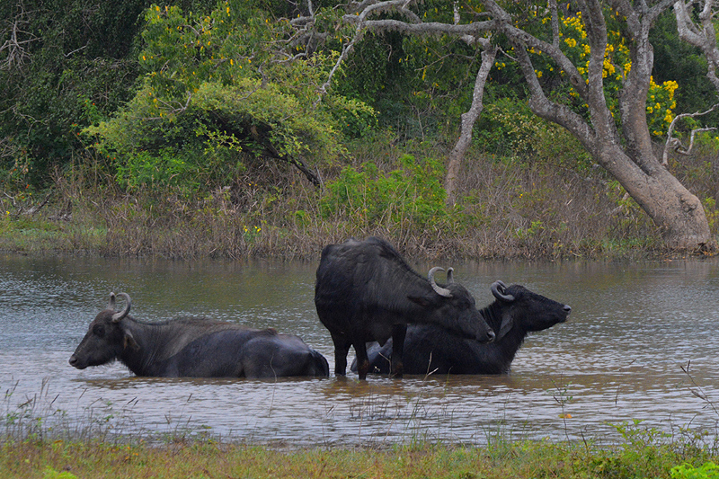 Yala National Park Waterbuffels