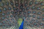Yala National Park-Closeup Pauw