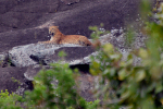 Yala National Park-Luipaard