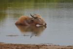 Yala National Park Waterbuffel