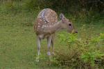 Yala National Park-Bambi