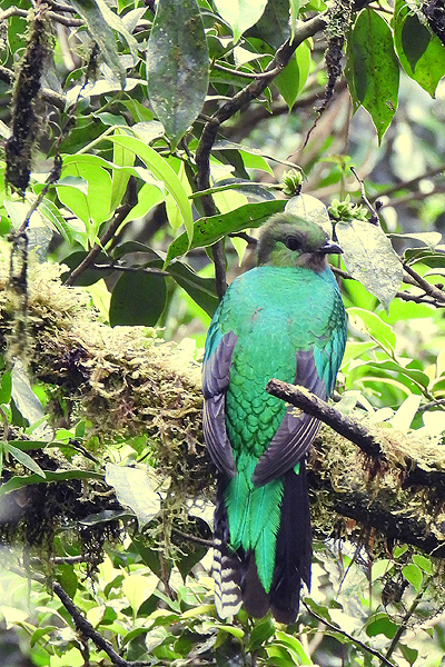 Quetzal-vrouw