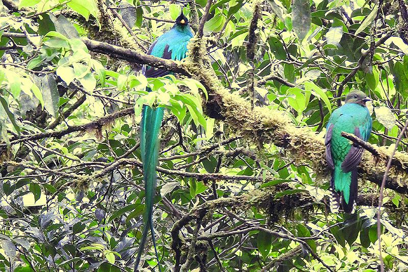 Quetzal-paartje