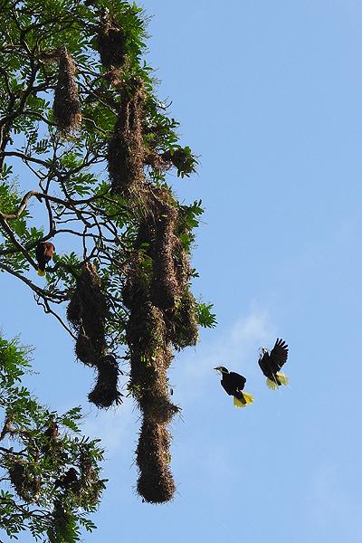Paartje Montezumaoropendola's bouwen nest
