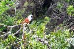 Drielelklokvogel
