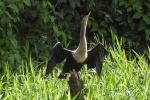 Amerikaanse slangenhalsvogel droogt zijn vleugels