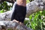 Amerikaanse slangenhalsvogel vrouwtje