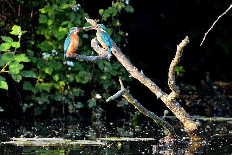 IJsvogels met visjes voor jongen in snavel