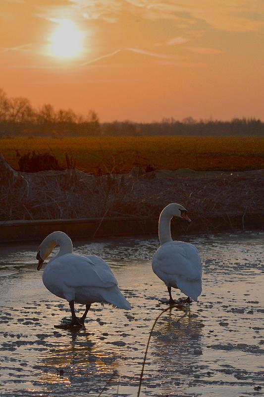 Zwanen op het ijs bij zonsopkomst