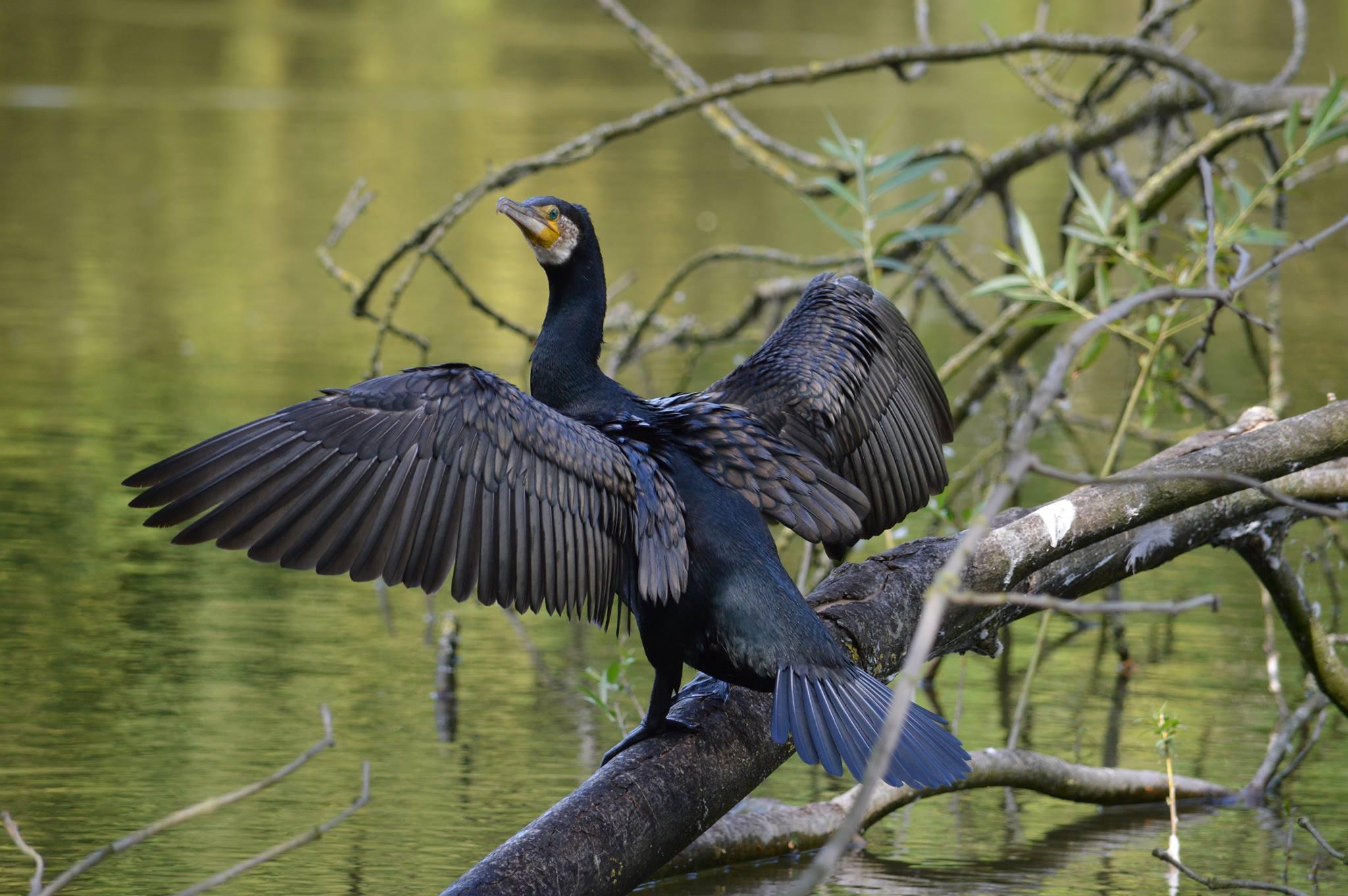 Aalscholver droogt de vleugels
