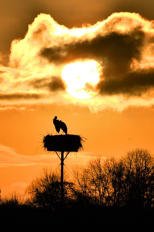 Ooievaar bij zonsopkomst