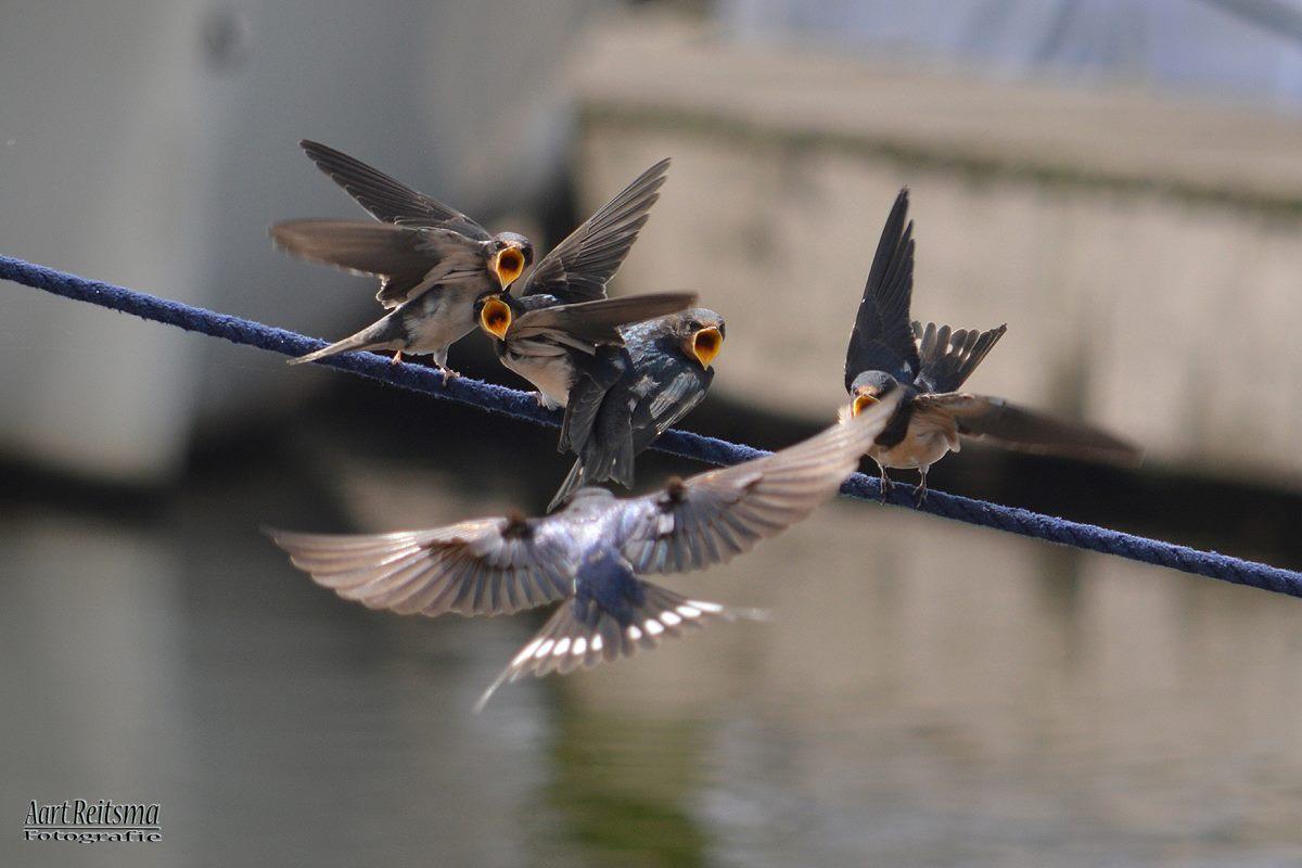 Zwaluw voert jongen