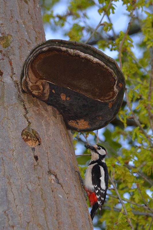 Mannetje bonte specht bij nest