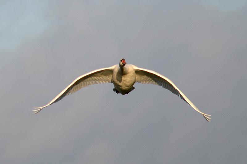 Zwaan in de vlucht