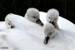 Zwaantjes tussen moeders veren