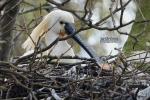 Lepelaar op nest