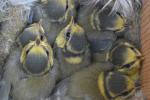 Pimpelmeesjes in nest