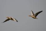 Grouwe ganzen tijdens hun vlucht