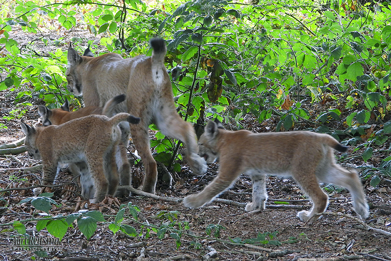 Moeder Lynx met jongen 10 augustus 2020