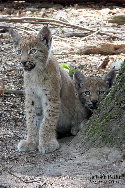 Twee jonge lynxen als portretje 10 augustus 2020