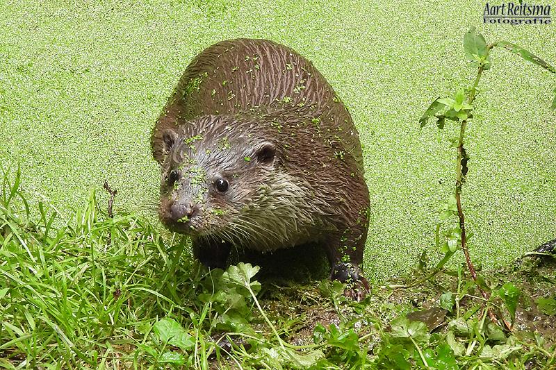 Otter, augustus 2019