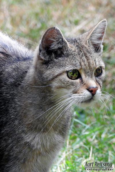 Wilde kat, augustus 2019