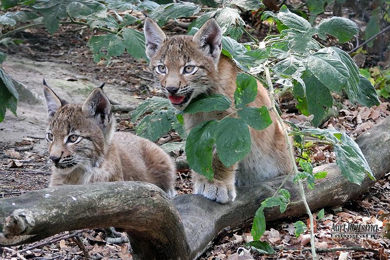 Twee  jonge Lynxen 10 augustus 2020