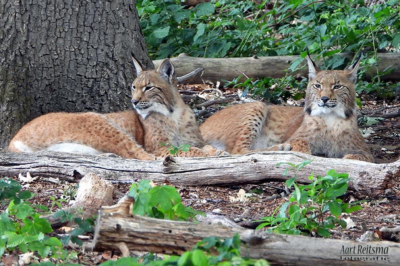 Twee jonge lynxen,  juni 2020