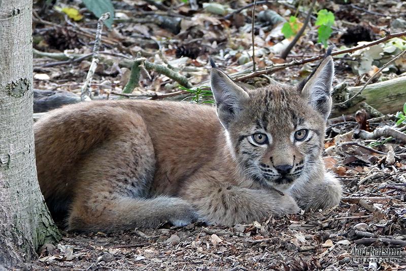 Jonge Lynx 10 augustus 2020