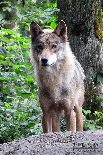Close-up europese wolf,  juni 2020