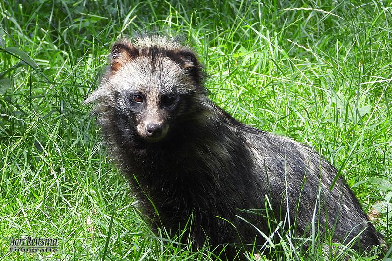 De indrukwekkende wasbeerhond,  juni 2020