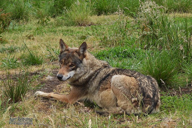 Europese wolf,  juni 2020