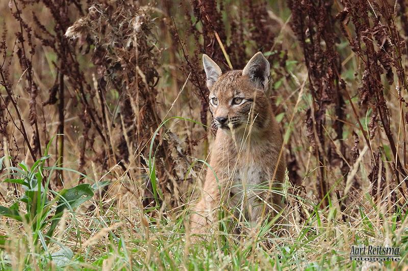 Jonge lynx 27 augustus 2020
